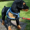 DOG FRONT LEADING HARNESS