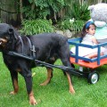DOG PULLED WAGON