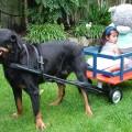 DOG PULLED WAGON