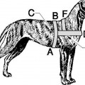 Dog Carting Harness Measurements