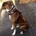 Dog Harness Oiled Leather