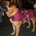 Dog Jacket Waterproof XL